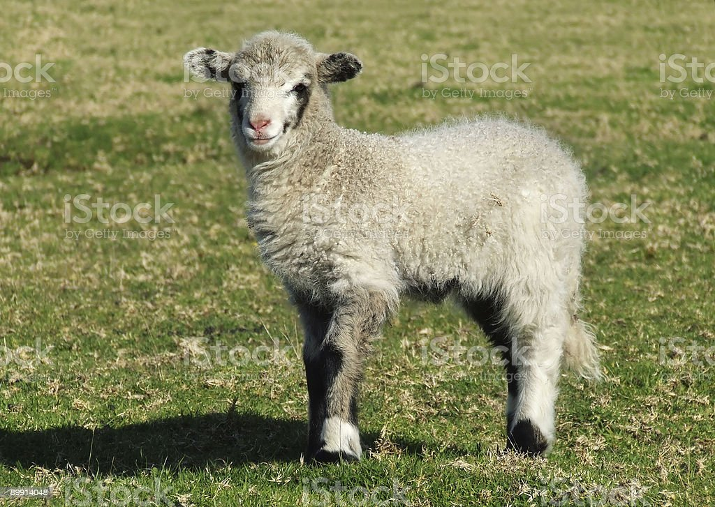 Zwierzę-Lamb zbiór zdjęć royalty-free