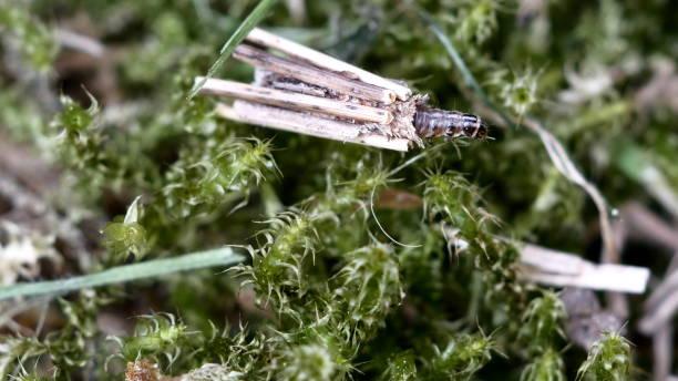 animal larva trichoptera stock photo