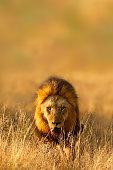 Animal Lion Africa nature wildlife savanna safari predator cat landscape