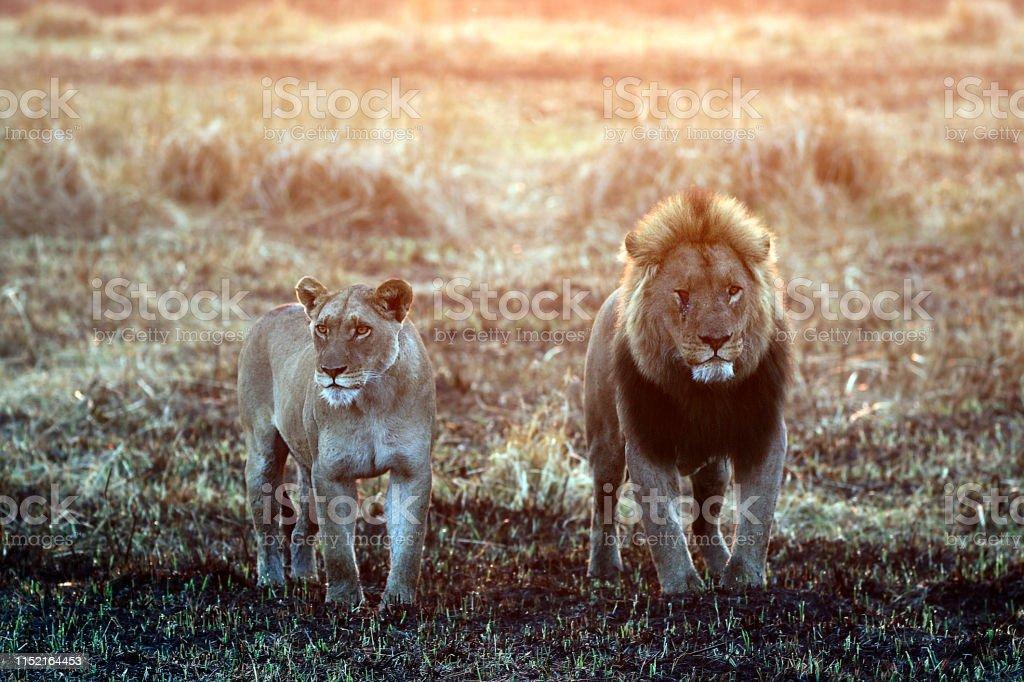 Animal lion king wildlife nature mane lioness mating pair looking cat...