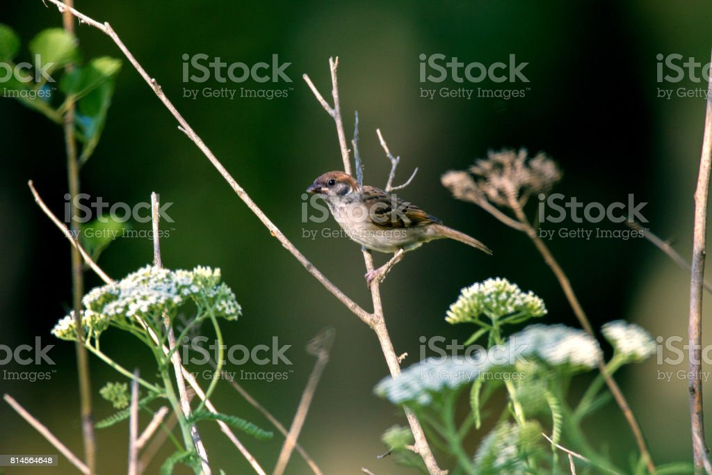 animal little sparrow on a branch stock photo
