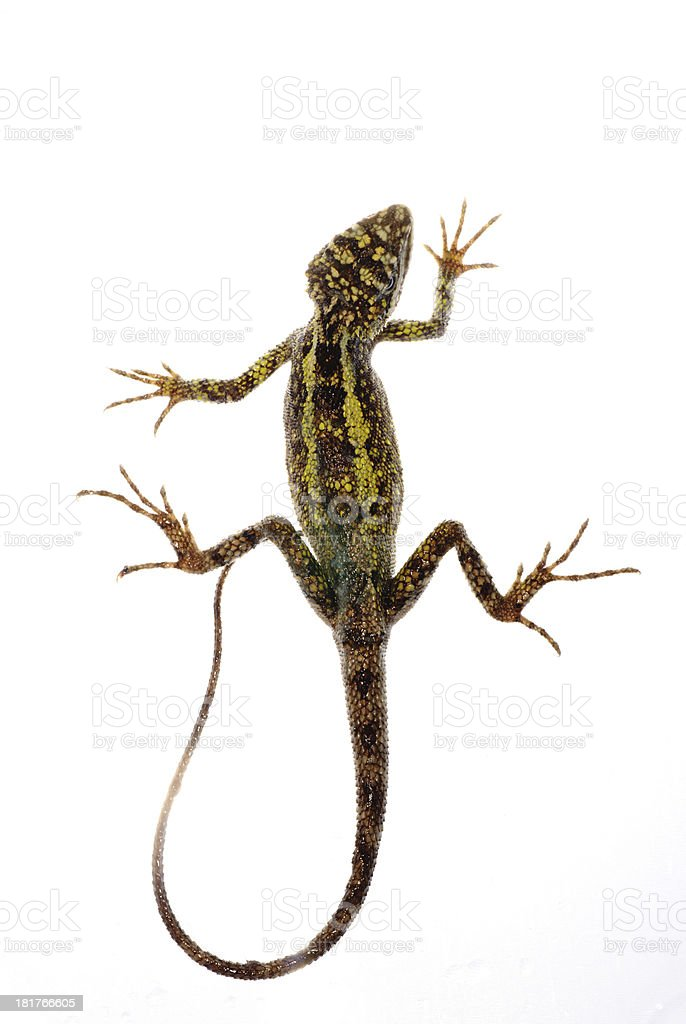 animal lizard Chinese tree dragon royalty-free stock photo