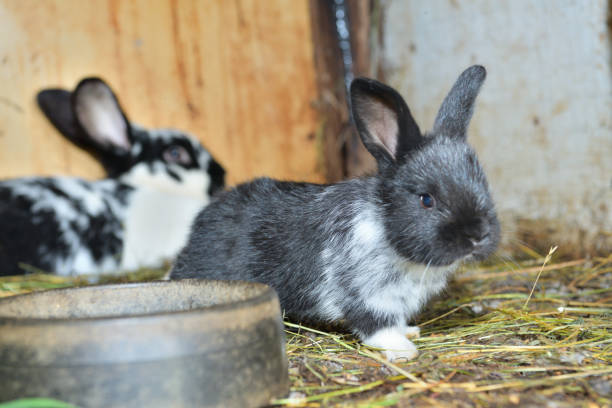 Animal love mother with smalll rabbits in the lair with hay stock photo