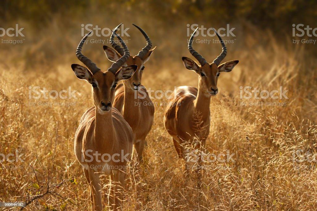 Animal mammal antelope impala wildlife nature Africa safari horns...