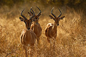 Animal mammal antelope impala wildlife nature Africa safari horns three males 3