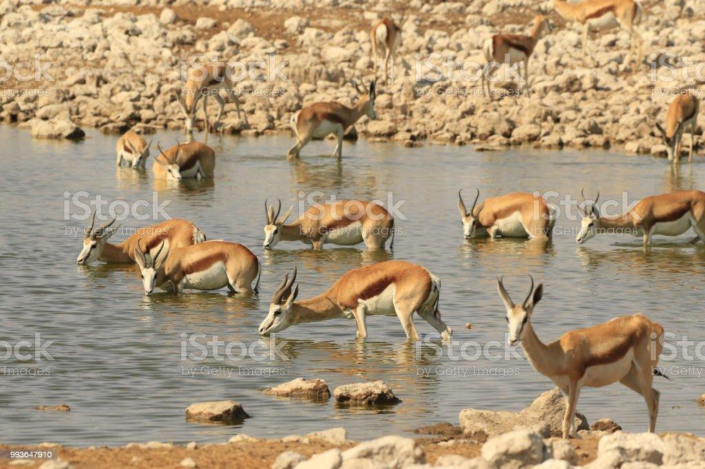 Animal mammal antelope springbok buck wildlife nature Africa safari...