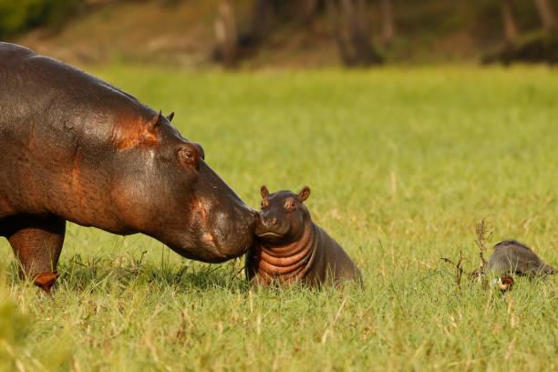Animal mammal hippo mother baby young born grass wildlife Africa nature savanna water stock photo