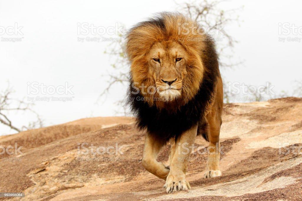 Animal mammal lion male mane pride king rock danger predator wildlife...