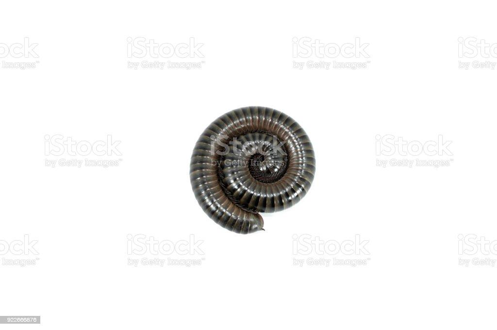 animal millipede on white stock photo