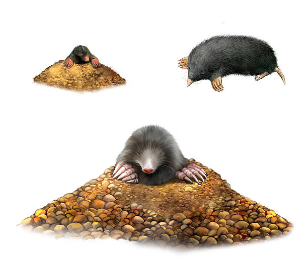 Animal Mole in molehill showing claws. Animal Mole in molehill showing claws. Isolated Illustration on white background mole animal stock pictures, royalty-free photos & images