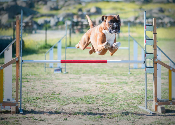 Animal of company making jumps in championship of agility picture id961043008?b=1&k=6&m=961043008&s=612x612&w=0&h=gpkvlks6nytxxbxmbjtn9hlorkxbx 0m0yitacnj4u8=