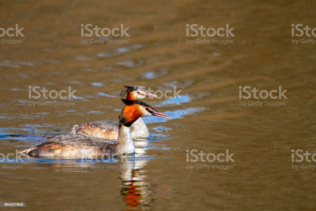 Image of an animal pair of wild birds Podiceps cristatus floating on...