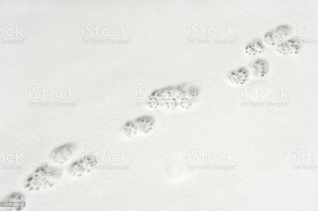 Animal paw prints in snow royalty-free stock photo