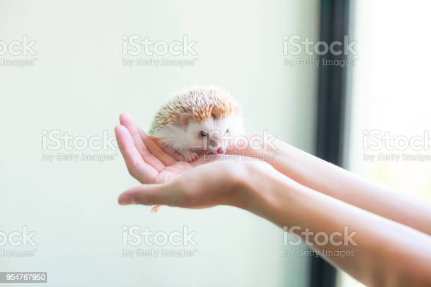 Animal pet care love concept cute white brown hedgehog on the girls picture id954767950?b=1&k=6&m=954767950&s=612x612&h= eiba0bbwgcb2z5dqjovpidgqzu2h8gijkshivicwd8=