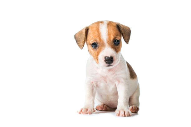 animal pet dog Jack Russell Terrier puppy isolated on white background cub stock pictures, royalty-free photos & images