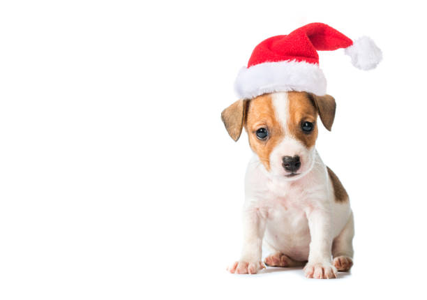 animal pet dog Jack Russell Terrier puppy in red santa cap  isolated on white background santa hat stock pictures, royalty-free photos & images