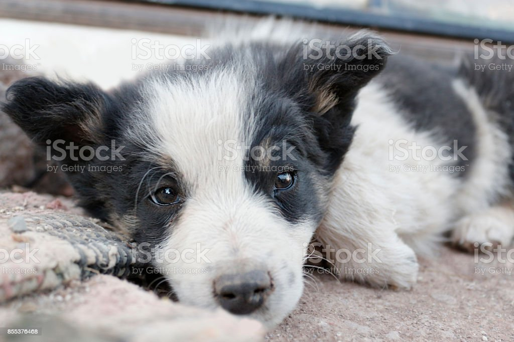 Animal Pets Dogs Puppy Border Collie Cute Baby Fluffy Furry Stock Photo Download Image Now Istock