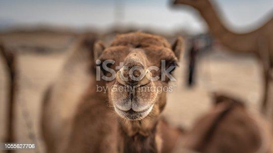 Camel's Face Portrait In Desert