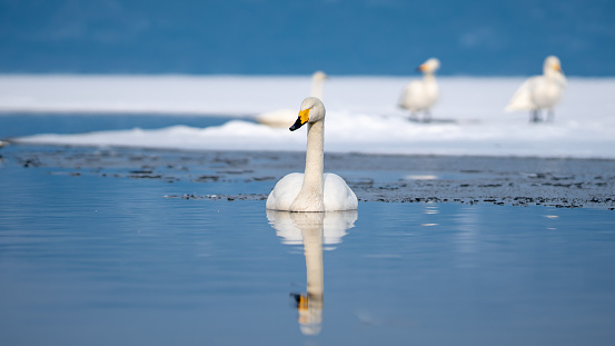 Swan With Lake Reflection In Winter