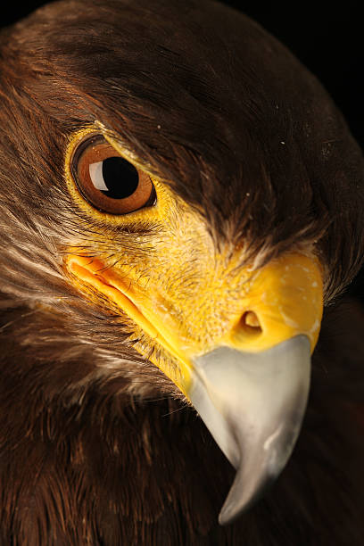 animal photography at studio - falcon bird stock photos and pictures
