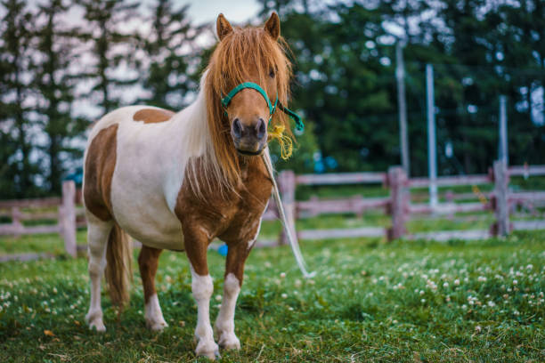 Animal Photos Dwarf Horse pony stock pictures, royalty-free photos & images