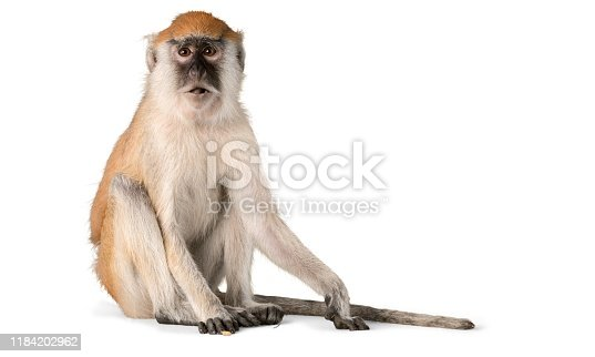 Cute Monkey animal isolated on white