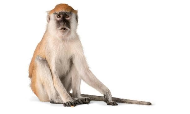 動物。 - 猴子 個照片及圖片檔