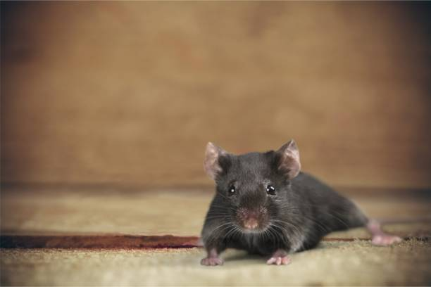 Animal. Gray mouse animal  on  background rodent stock pictures, royalty-free photos & images