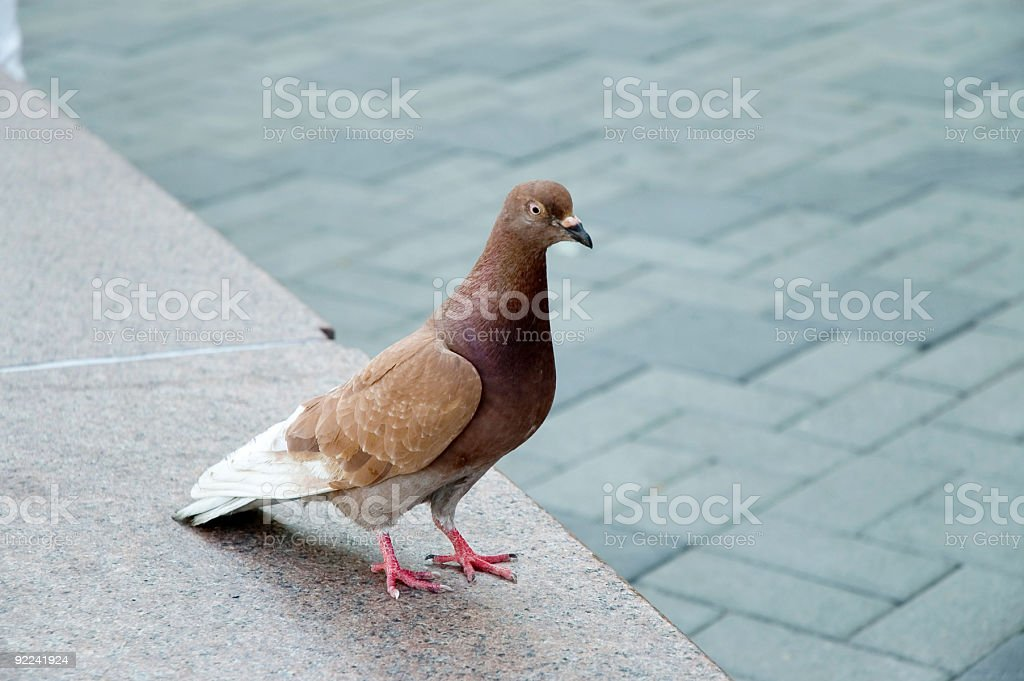 Animal - Pigeon royalty-free stock photo