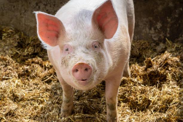 animal portrait of cute young pig in sty. swine breeding concept. - scrofa foto e immagini stock