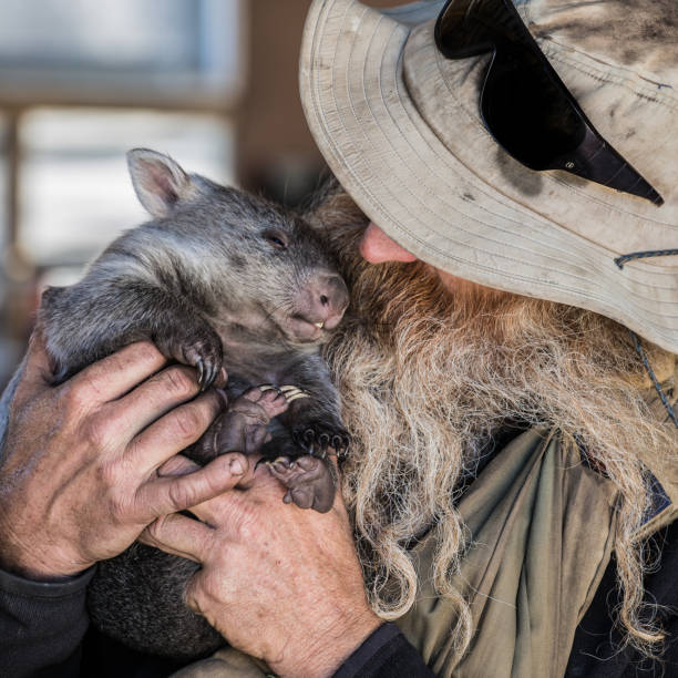 animal rescue, injured and orphaned wombats - wombat stock photos and pictures