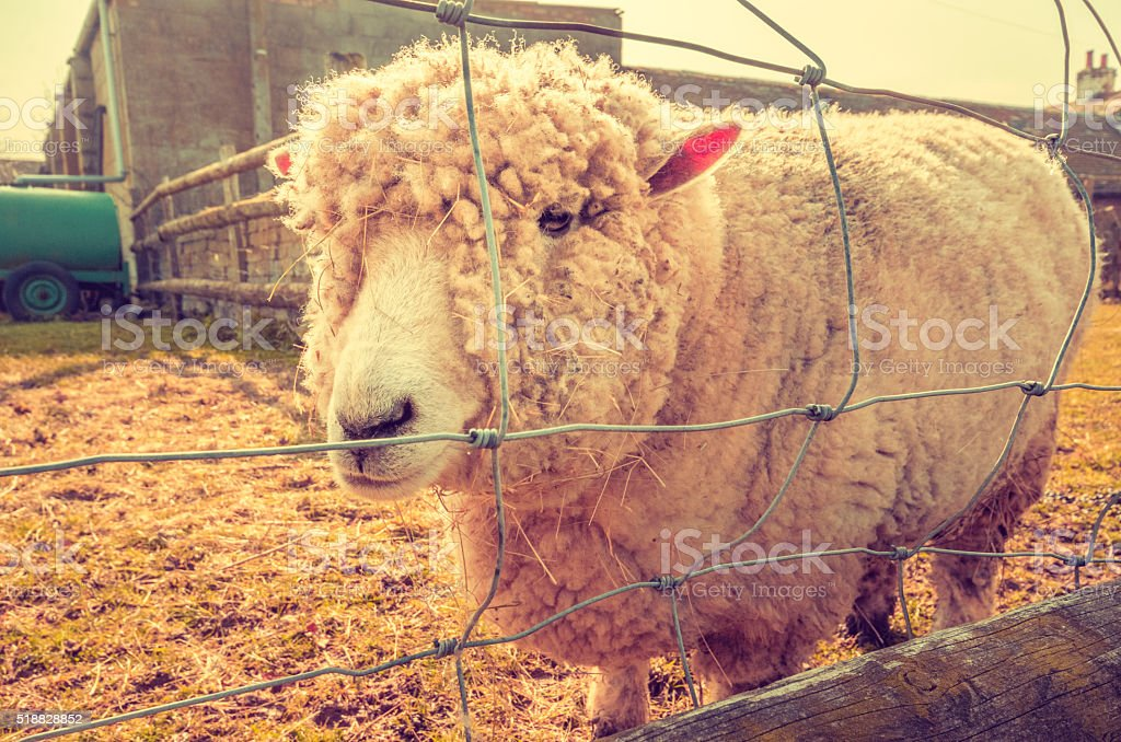 Animal rights - Lonely sheep behind fence stock photo