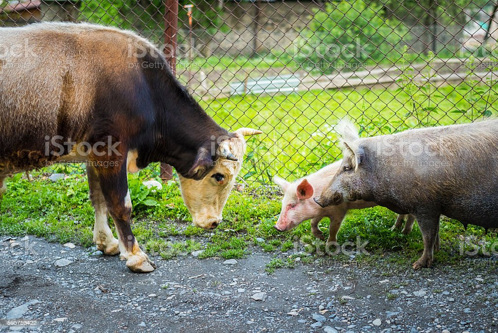 Animal scene from a farm: bull, pig and piglet – Foto