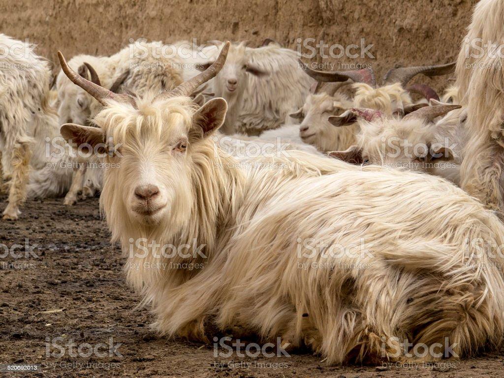 Animal: sheep close up in rural town, Shanxi province, China stock photo