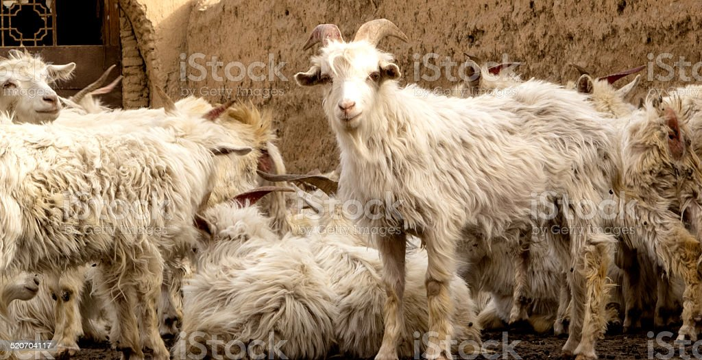 Animal: sheep flock group in rural town, Loess Plateau, China stock photo