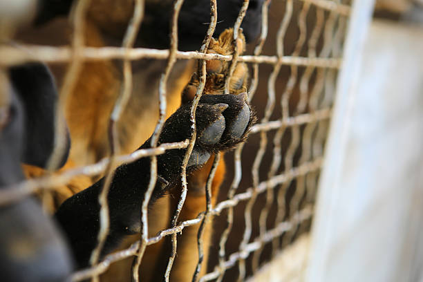 Animal shelter.Boarding home for dogs Abandoned dogs in the kennel,homeless dogs behind bars in an animal shelter.Dogs paw behind the fence,dog looking out through the wire of his cage. sheltering stock pictures, royalty-free photos & images