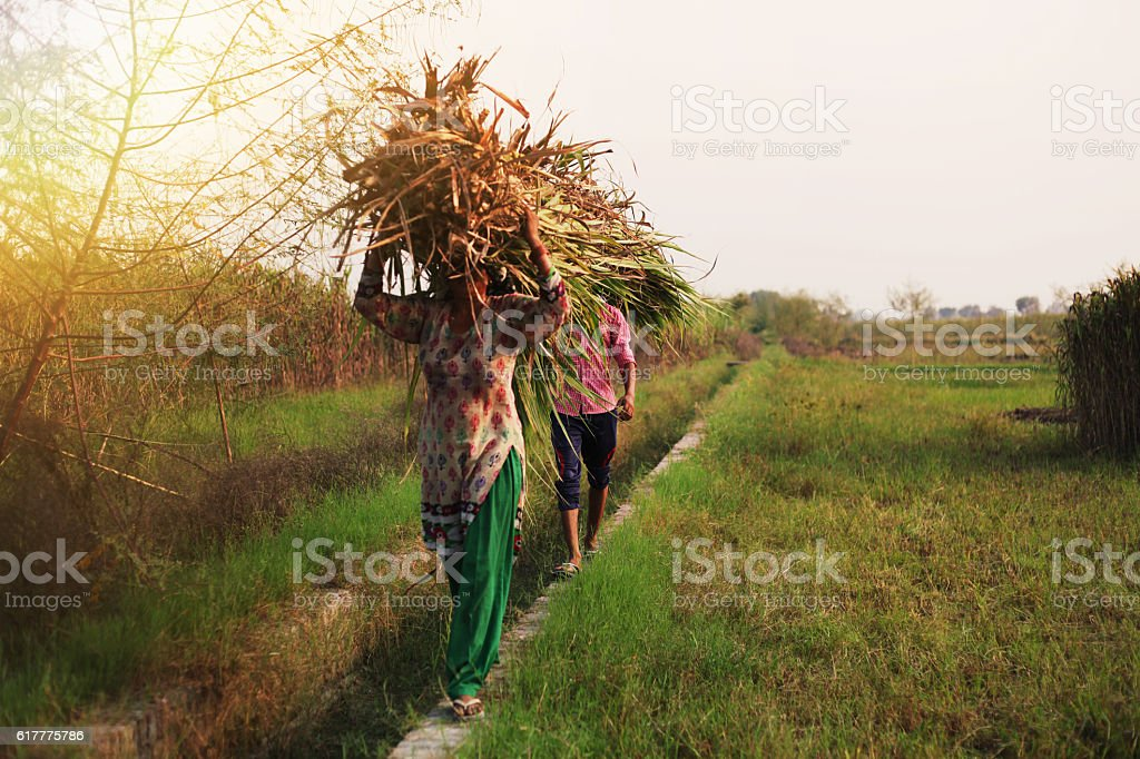Animal silage carrying on head stock photo