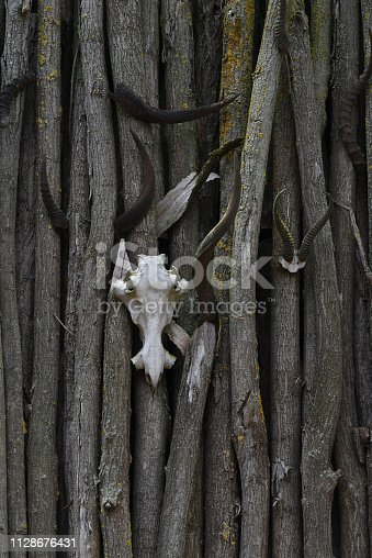 Animal skull and horns on the fence of trees