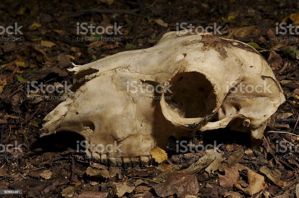Animal skull found in Rother Valley at night stock photo