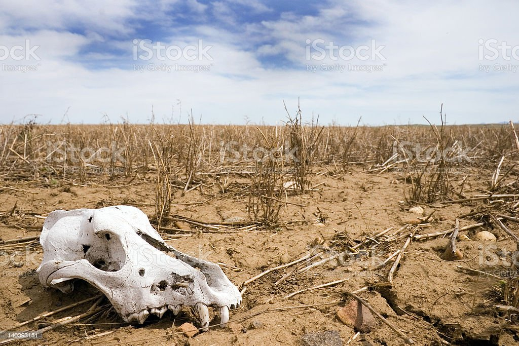 Animal skull in a field royalty-free stock photo