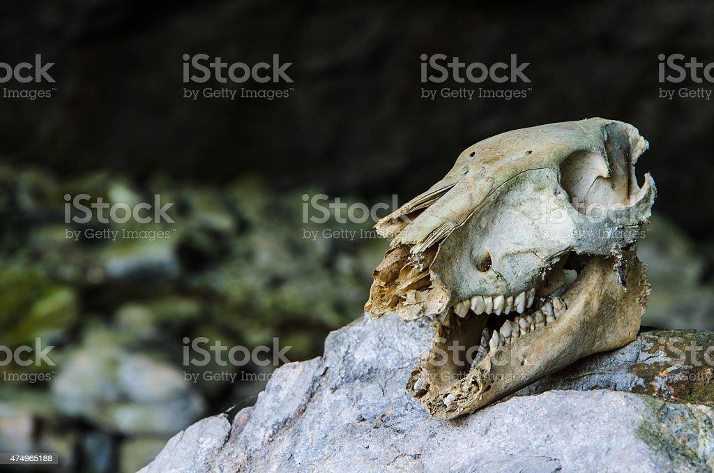 Animal skull in cave stock photo
