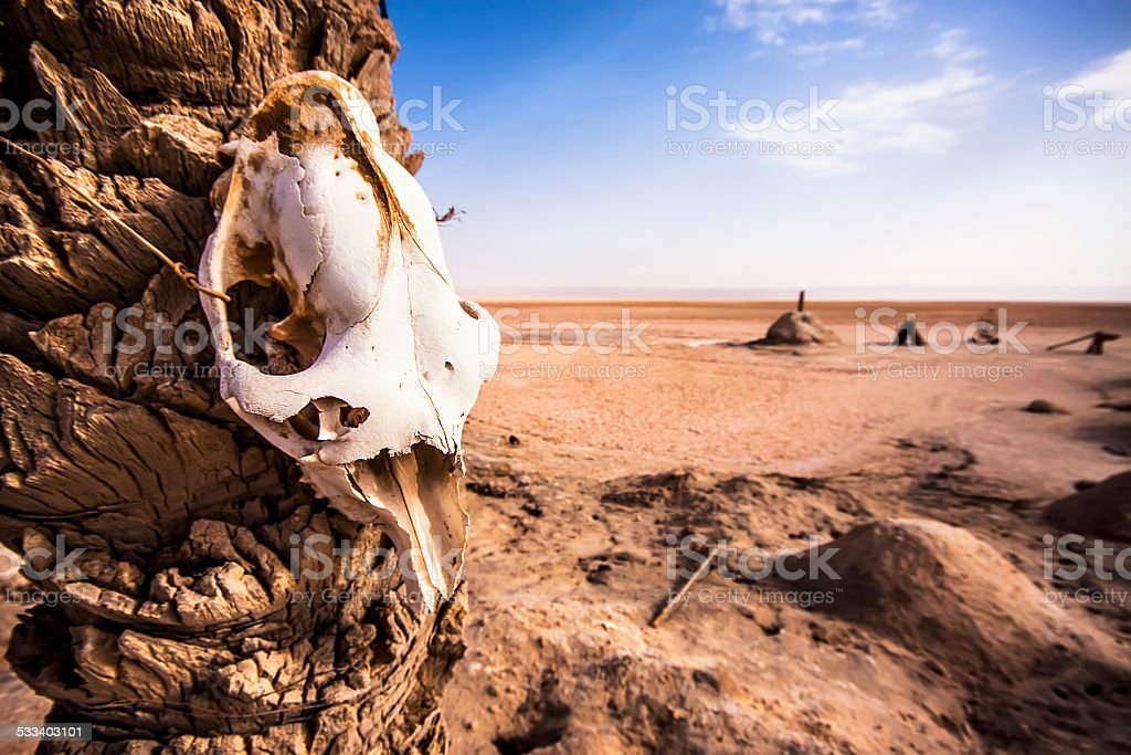 Animal skull in Chott el Djerid - salt lake in Tunisia stock photo