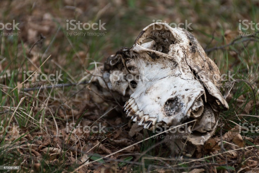 Animal skull on the grass stock photo