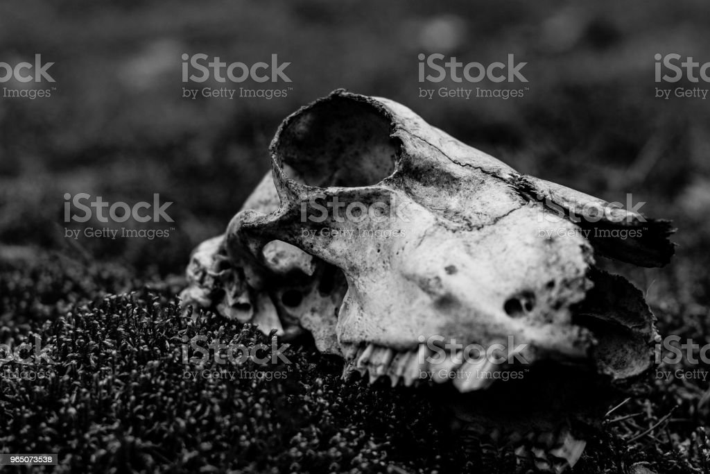 Animal skull on the ground. Loneliness royalty-free stock photo
