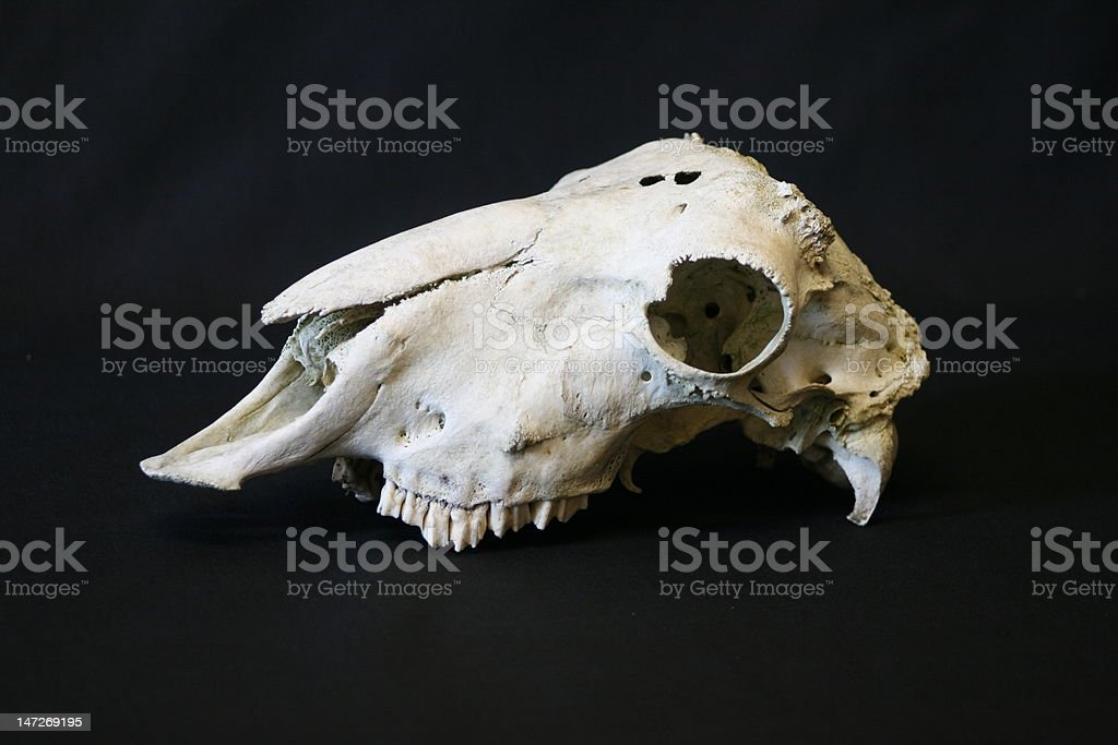 Animal Skull royalty-free stock photo