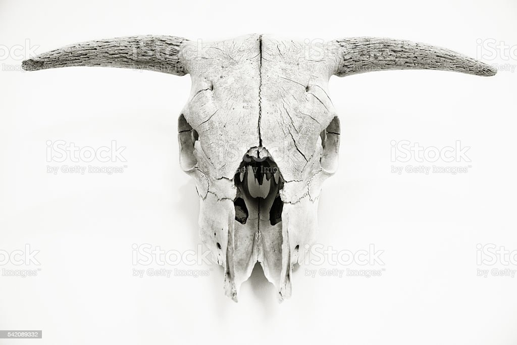 Animal Skull stock photo