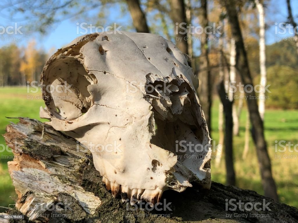 Animal skull stock photo