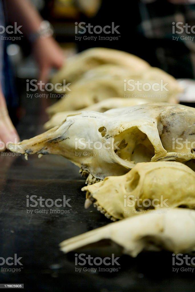 Animal Skulls royalty-free stock photo