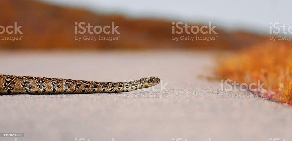 Animal Snake African adder Bitis arietans reptile wildlife nature...