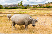 Animal stock in Southeast Asia. Two zebu, buffaloes or cows, cattle on a field. Village on a hill in rural East Timor - Timor-Leste, near Baucau, Vemasse, Caicua.